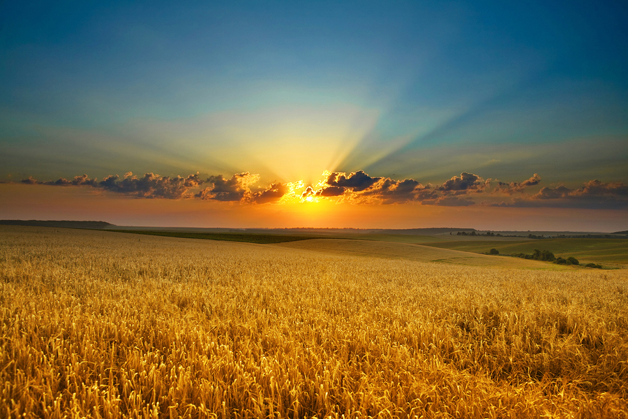 Golden fields with sunshine
